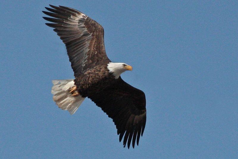 2009-03-17_4238-bald-eagle