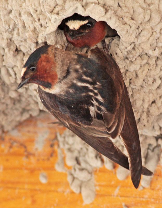 20080516_0416-cliff-sparrow