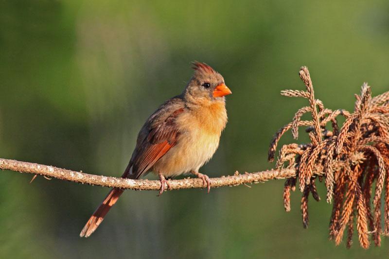2010-06-04_7452-cardinal