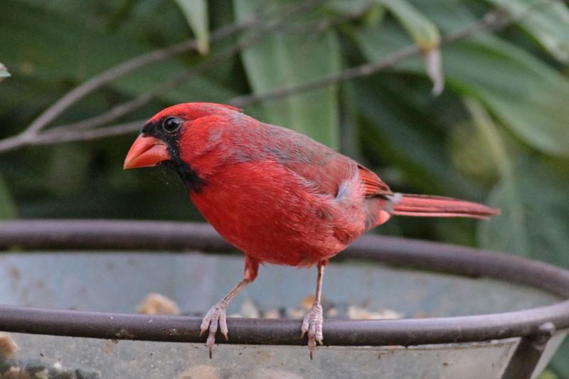 2010-10-02_6416-n-cardinal-