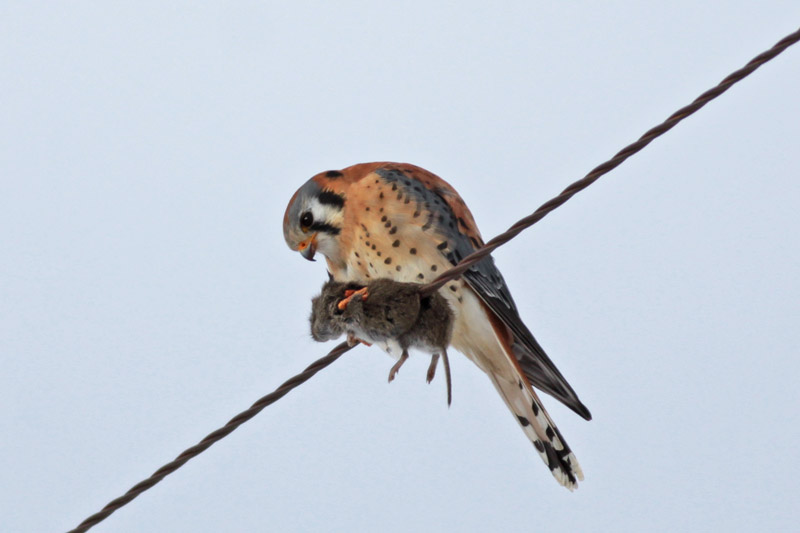 Falconiformes. sub Falconidae - sub fam Falconinae - gênero Falco - Página 3 6a00d8341fae8053ef0147e333f623970b-800wi