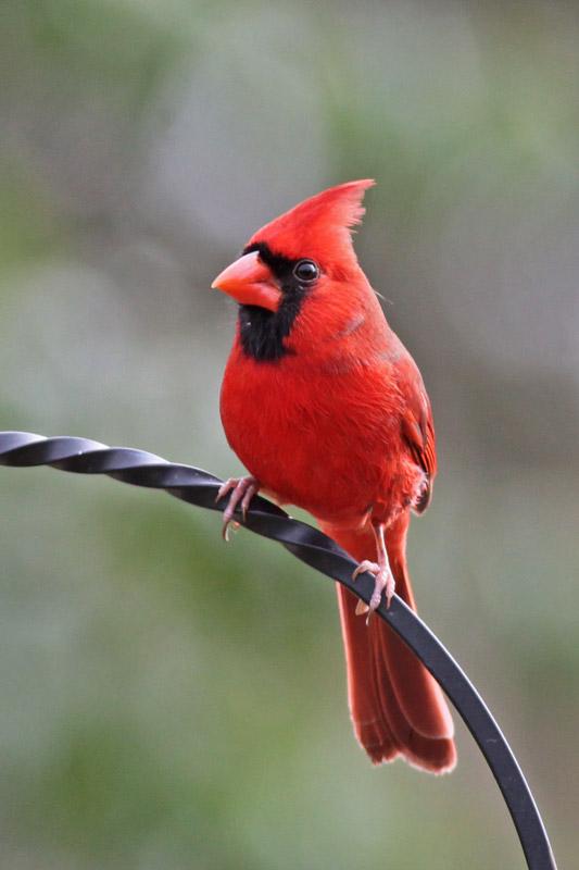 2010-12-05_3938-cardinal