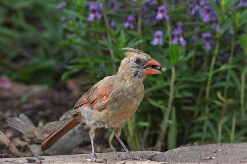 2010-08-14_2833-cardinal