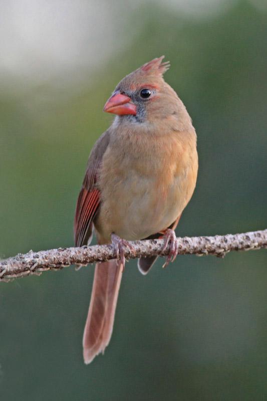 2010-12-04_4025-cardinal