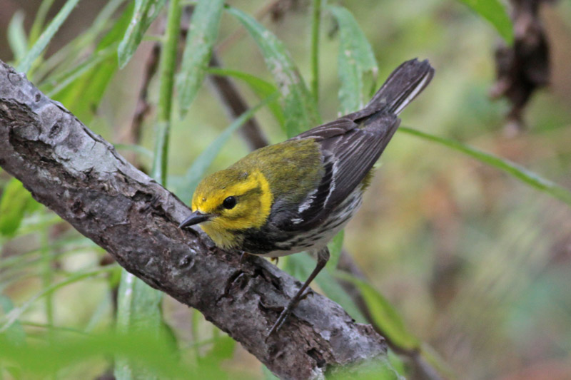 black throated green warbler birds of quail valley and fort bend