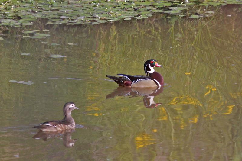 2011-03-24_6656-wood-ducks