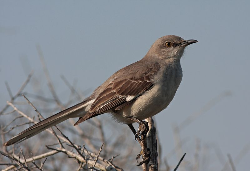 2009-03-20_4951-mockingbird