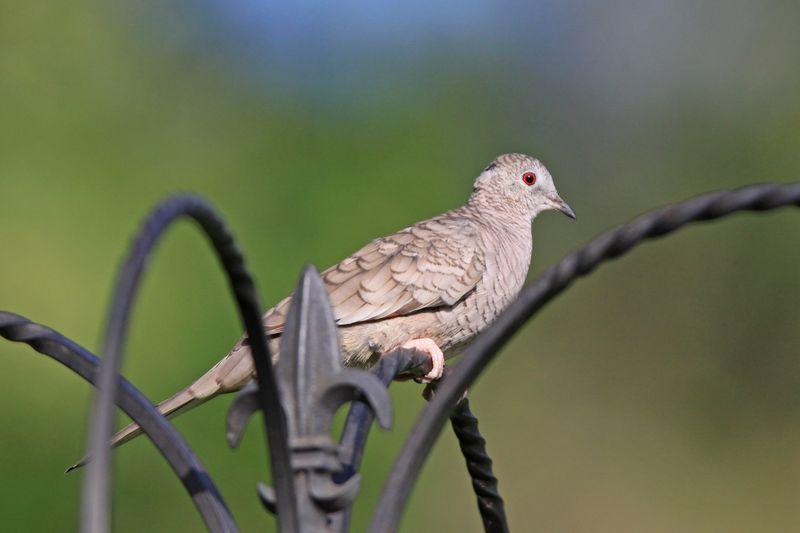 2012 07 22_0990 Inca dove