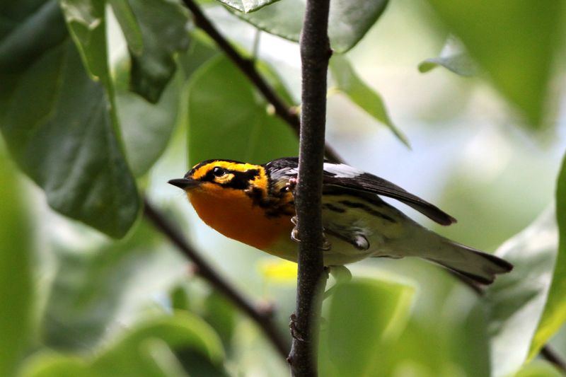 2012 05 12_6869 Blackburnian Warbler