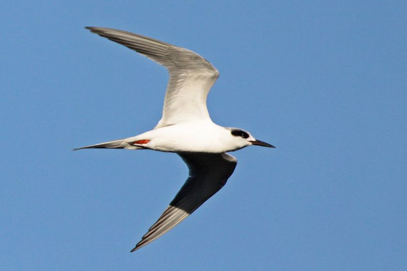 2013 02 02_5128 Forsters TErn