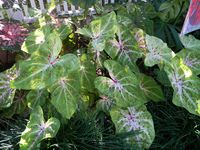 Miss Muffett Caladium