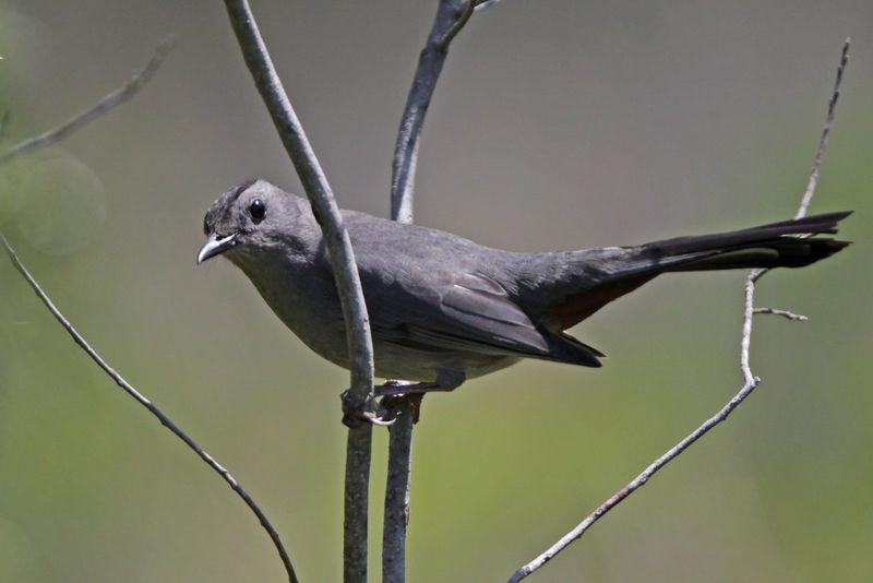 2013 04 26_0898 Gray Catbirdlores