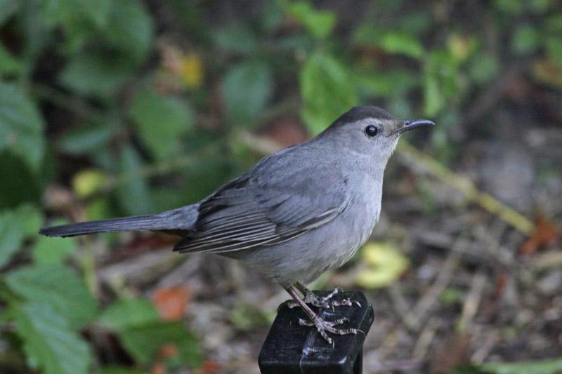 2011-04-16_1852-catbird