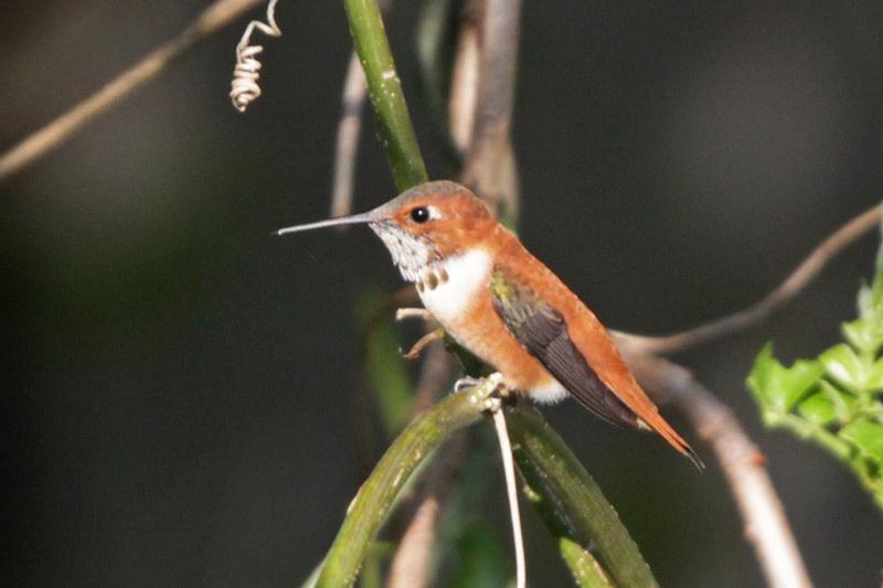 2012-03-12_8366-Rufous Hummingbird