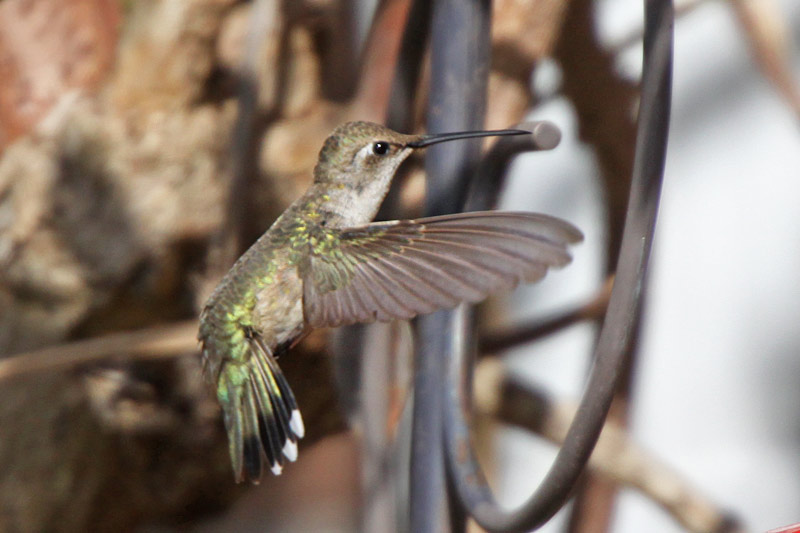 2012-01-15_7712-Blackchinned Hummingbird