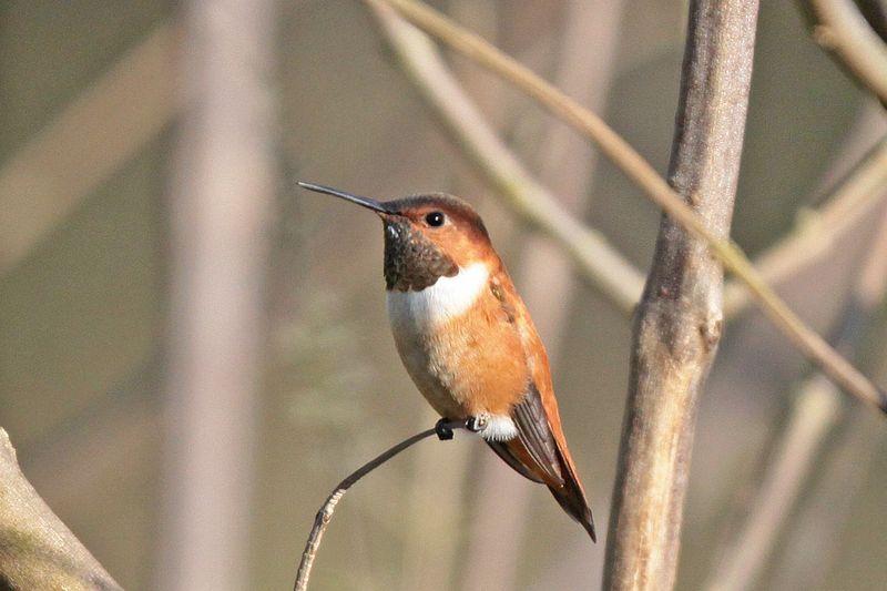 2013 03 11_2925 Rufous Hummingbird