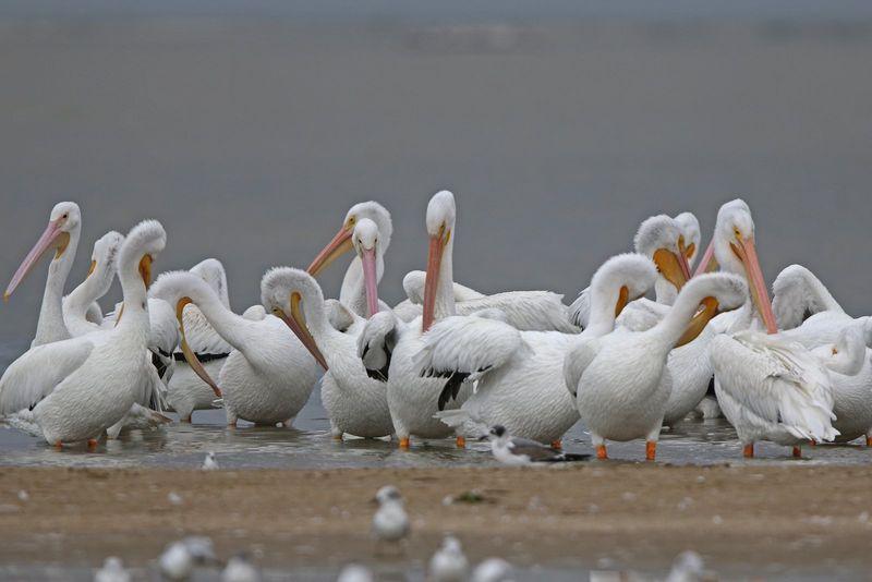 2013 10 30_9134 pelicans