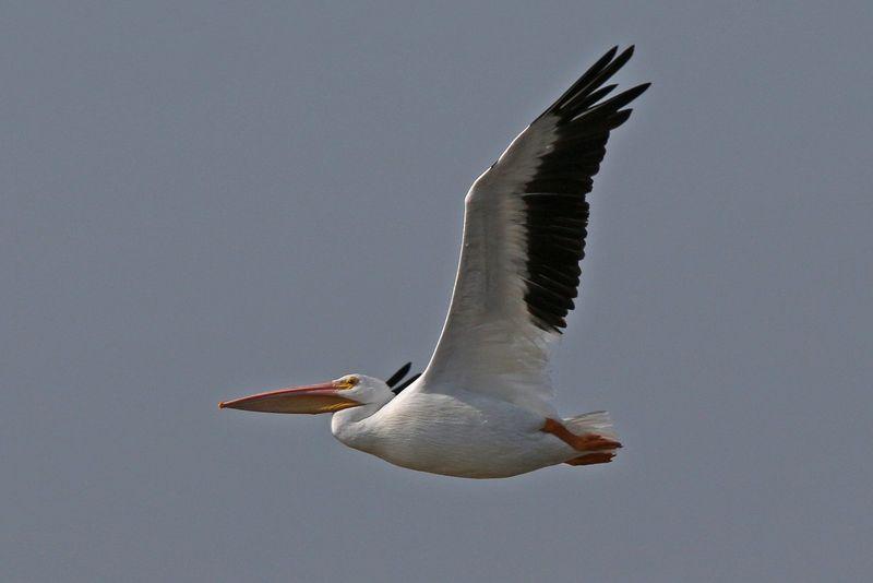 2013 11 13_3554 White Pelicans