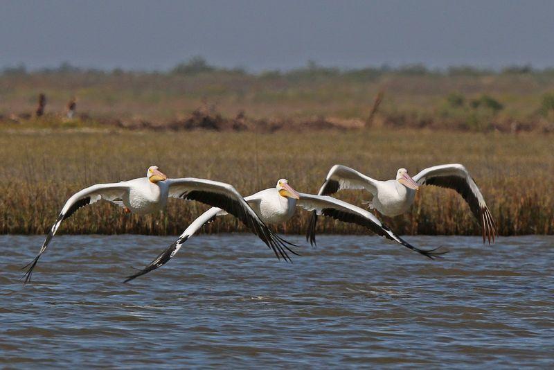 2013 11 13_3549 White Pelicans