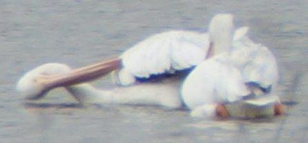 Pelican Leggett-002