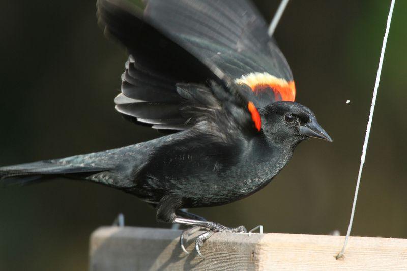 2014 02 23_7050 Red-wingedBlackbird_edited-1