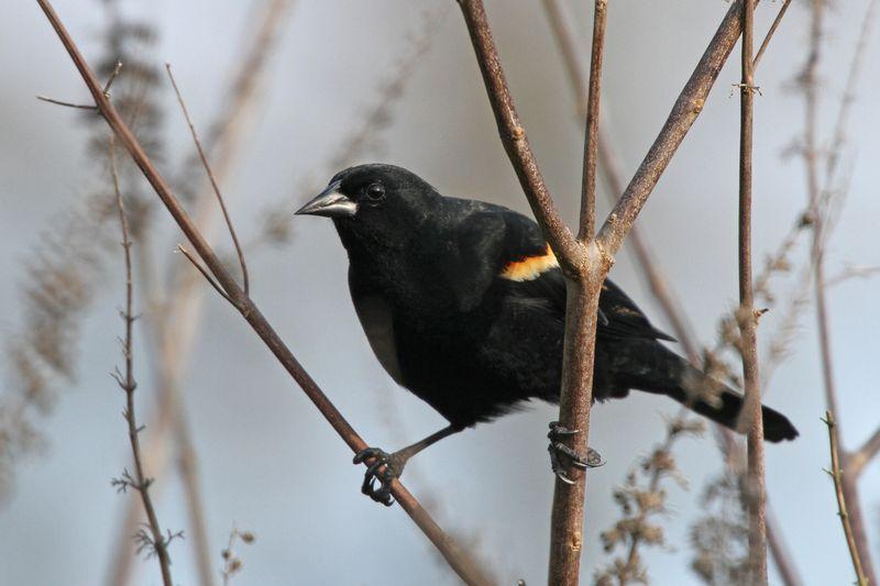 2014 02 23_7026  RedwingedBlackbird_edited-1