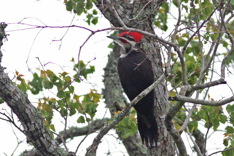 2013 04 17_9452 Pileated Woodpecker