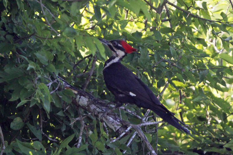 2012 06 17_7091 pileated