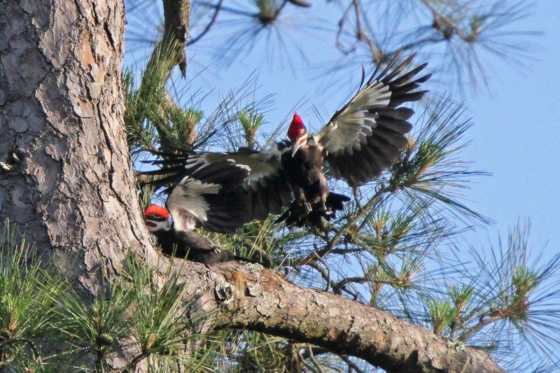 2014 05 07 5618 Pileatedwoodpeckers