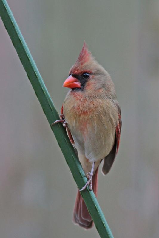 2010-01-30_0851-cardinal