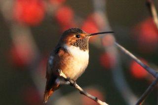 2012 02 10_4044 Rufous Hummingbird